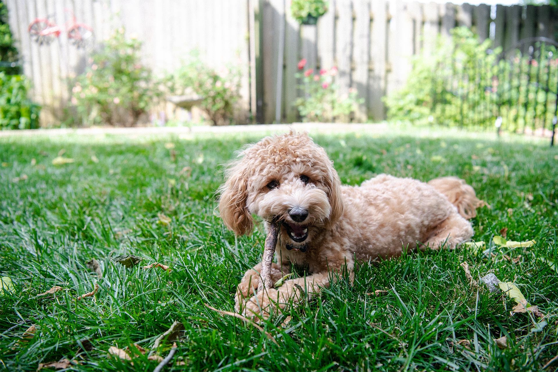 Suzanne's dog, Teddy, chews a stick in her yard.