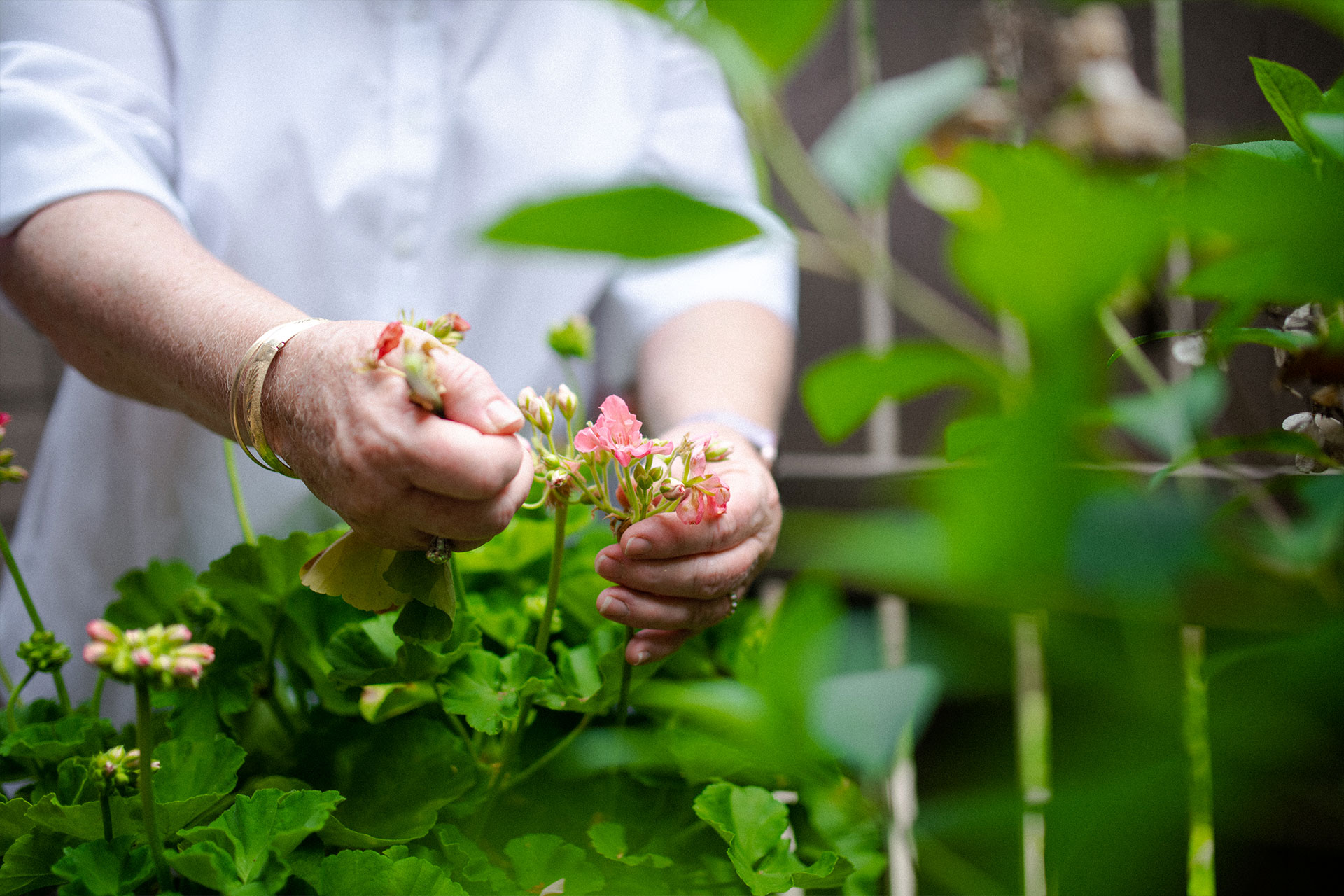 Suzanne removes some old flowers from a blossoming geranium plant.