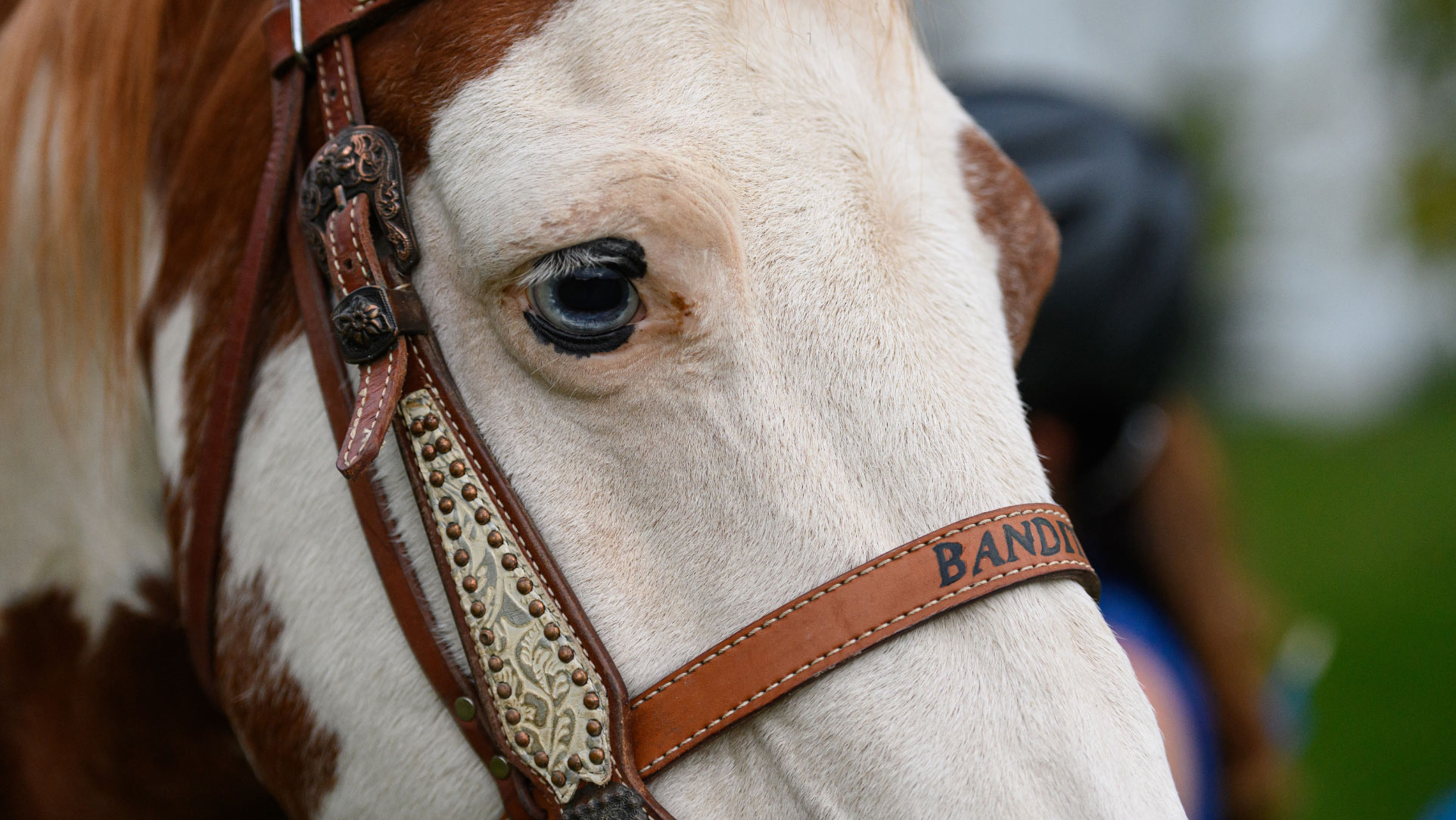 A close-up of Bandit, a white horse with brown splotches.